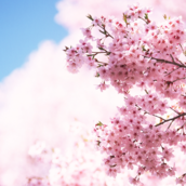 Cherry Blossom [LG Home]